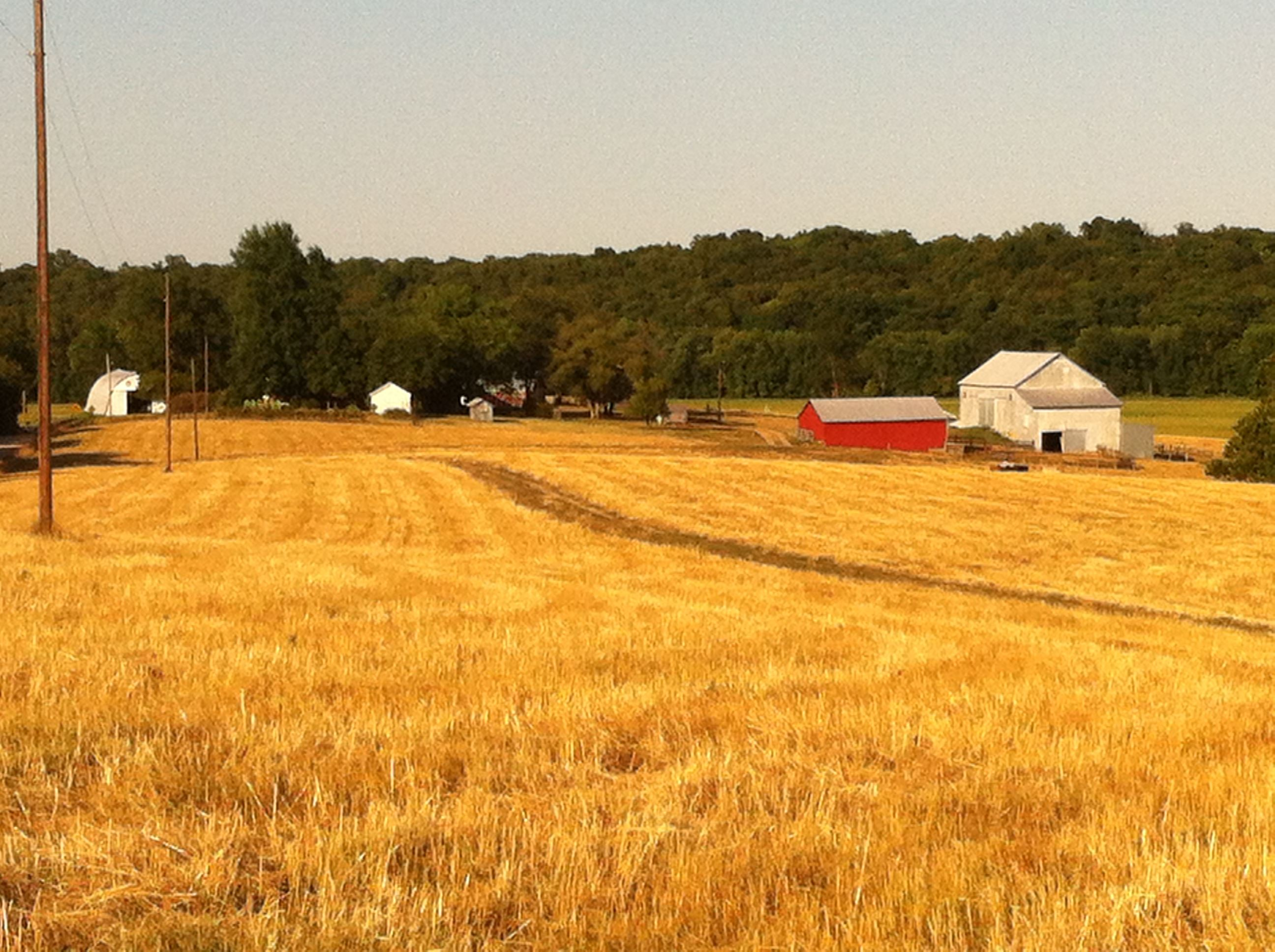 Gold Field w Barn